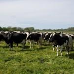 cows Merial