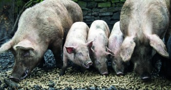 Avian flu 'worst scenario' guidance for pig producers
