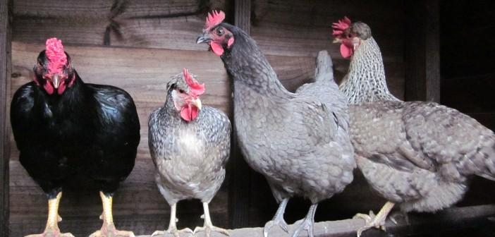 Garden Hens Chicken Vet