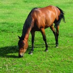 Horse grazing - SM -#ABFAD6