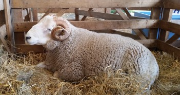horned sheep 2 Ian Webb website