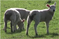 sheep turnout