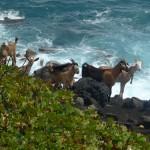 Goats St Kitts Clare Hamilton website
