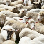 sheep website.4jpg