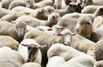 sheep website.4jpg