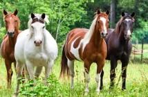 horses-in-field