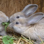 little rabbits eating grass