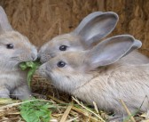 Vets suggest pet rabbits are looking for companionship
