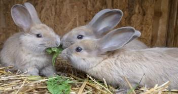 little rabbits eating grass
