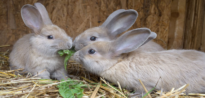Research project calls for better rabbit knowledge