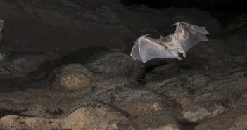 Fruit Bat in Cave