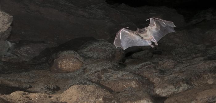 Fruit Bat in Cave