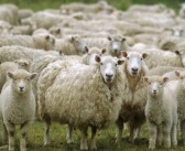 Warm, wet weather heightens parasite risk in sheep and cattle