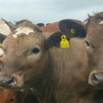 Grazing cattle - copyright of Mark Jelley