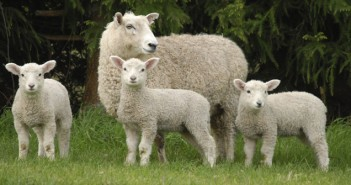 Lambs with mother
