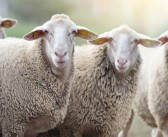 Pedigree ram nominations open for fifth year of RamCompare