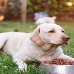 710401 Labrador eating in park