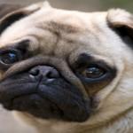 Pug with brachycephalic