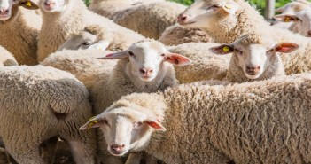 herd of white sheep