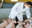 Veterinarian to make injection to domestic pigs