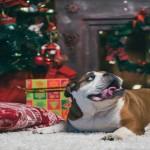 bulldog at the Christmas tree 2015