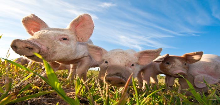 Some pigs in Dalarna, Sweden