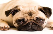 Sad Pug Dog Laying Down