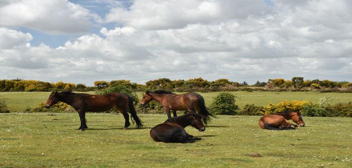 Pony New Forest National Park Hampshire England UK