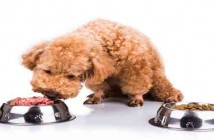 Poodle dog chooses delicious raw meat over kibbles as meal