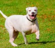 American bulldog trotting through grass field