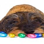 Dackel liegt zwischen Schokoladeneiern