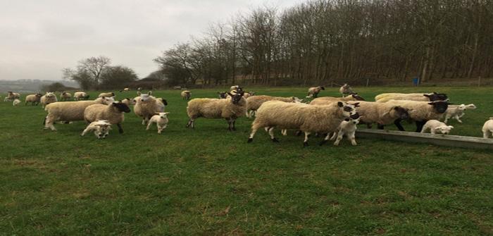 Elanco sheep pic