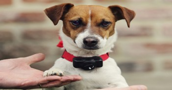 chien avec collier anti-fugue