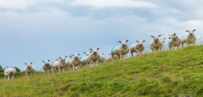 ひつじさんと私  Sheep and I