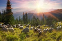 Shepherds and sheep Carpathians