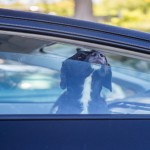 dog pokes its muzzle out of the car window. black labrador looki