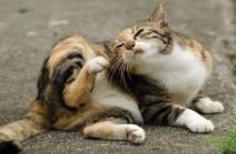 Cat with fleas