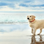 young white golden retriever stand on the seafront