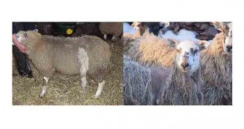 Examples of Sheep scab