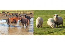 Parasite threat for cattle and sheep