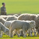 A shepherd is leading his flock