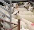 Transporting Sheep