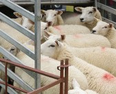 BVA calls for a comprehensive view of animal welfare during live transport