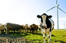 Cows in field (wind turbine in the background)