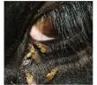 Close-up of headflies clustered around an animal's eye