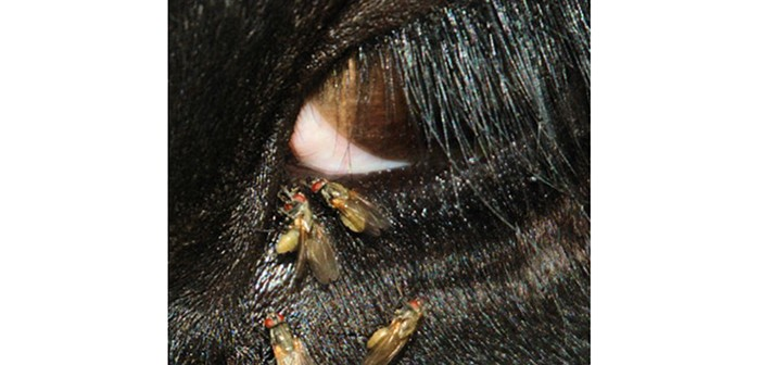 Close-up of headflies clustered around an animal's eye