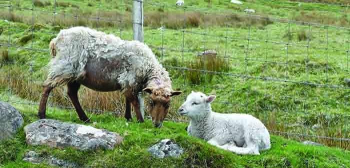 Sheep Scab