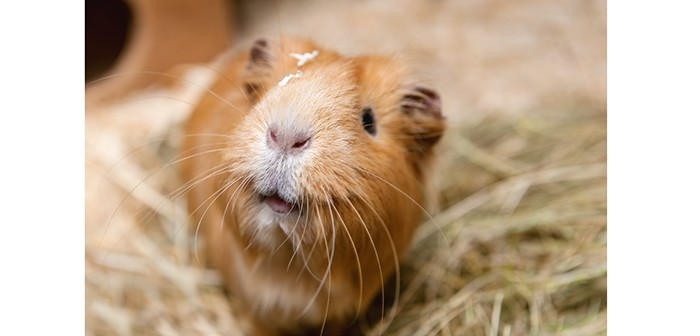 The importance of hay for guinea pigs