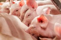 LivaPig-improves-piglet-vitality