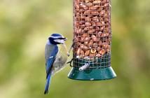 Blue-tit enjoying peanuts